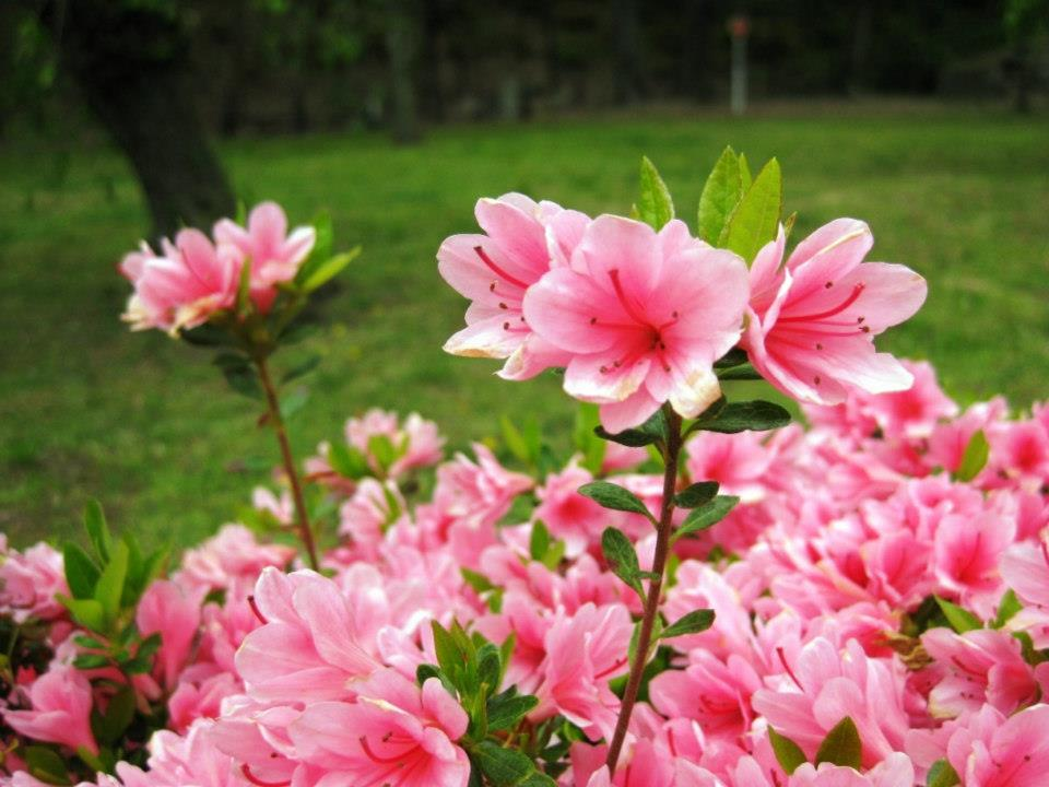 blomning-Ninomaru-Garden-kyoto-travelgrip