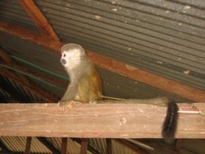 Apa i djungeln i Colombia