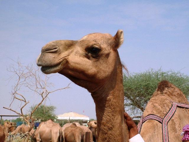 oman-camel-travelgrip