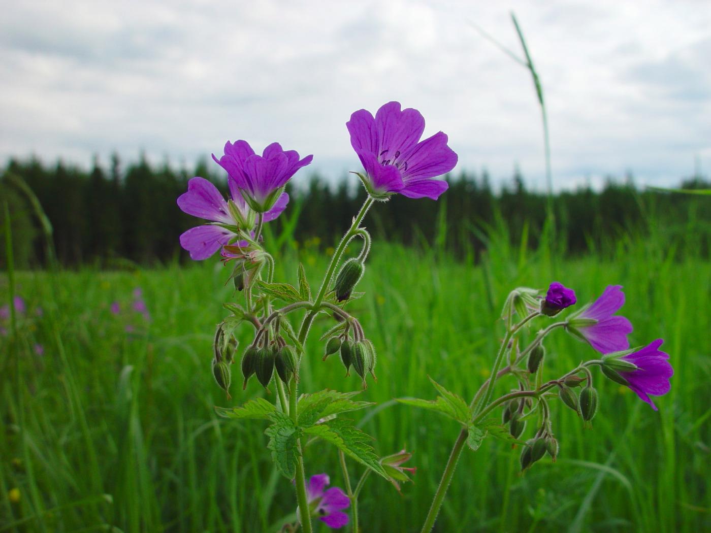 Midsommarblomster i Sverige
