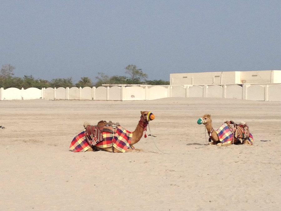 Qatar-desert-camels-TravelGrip-2