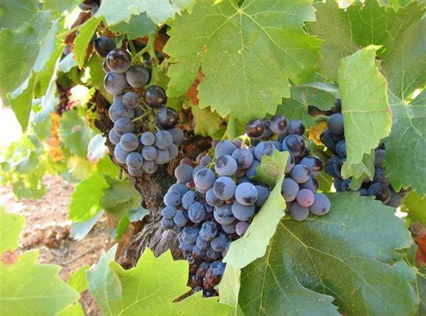 vindruvor-vinrankor-provence-frankrike-travelgrip