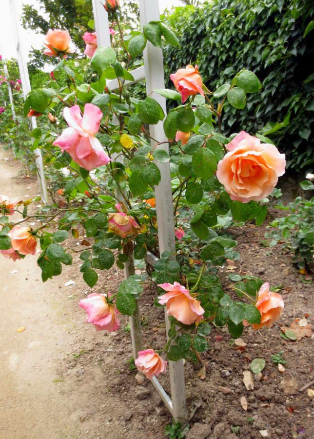 Dior-rosor-Granville-Normandie-Frankrike-TravelGrip